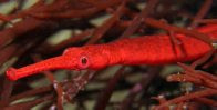 Widebody Pipefish close up