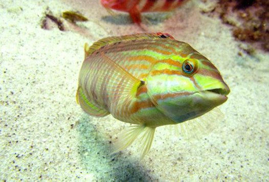 Gunther's Wrasse, Pseudolabrus guentheri