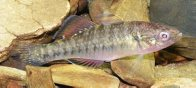 Empire Gudgeon from Narara Creek