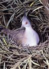 Crested Pigeon sitting in nest