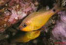 Capricorn Cardinalfish at North Solitary Island