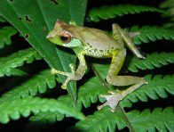 Male Quang's Tree Frog