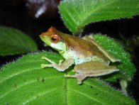 Female Quang's Tree Frog
