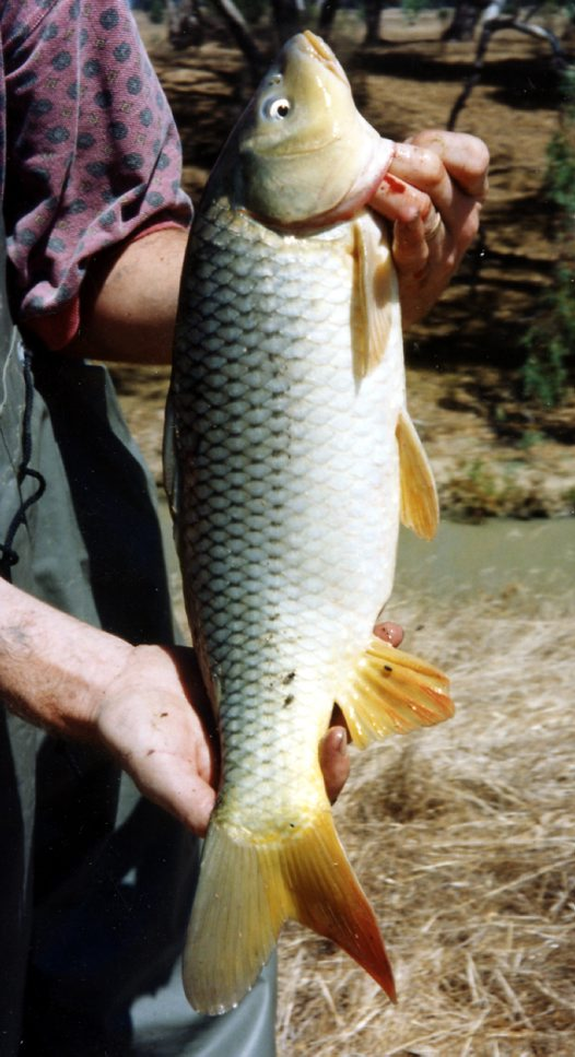 A Carp collected in Tuppal Creek