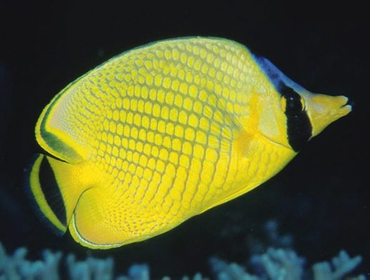 Lattice Butterflyfish, Chaetodon rafflesii