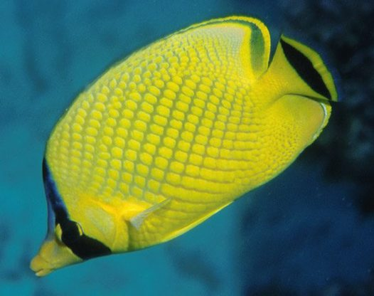 Lattice Butterflyfish at Ribbon Reef #3