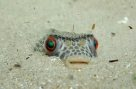 Smooth Toadfish buried in sand