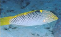 A Checkerboard Wrasse at Cormorant Pass