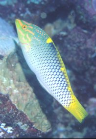A Checkerboard Wrasse at Mantis Reef