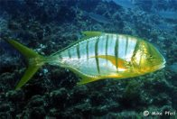 Golden Trevally, Gnathanodon speciosus