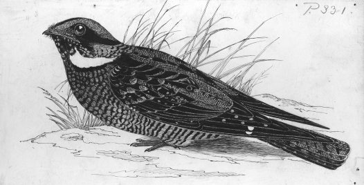 Illustration of White-throated Nightjar
