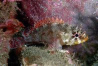 A Cheekspot Scorpionfish at North West Solitary Island