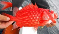 Rough Squirrelfish, Pristilepis oligolepis