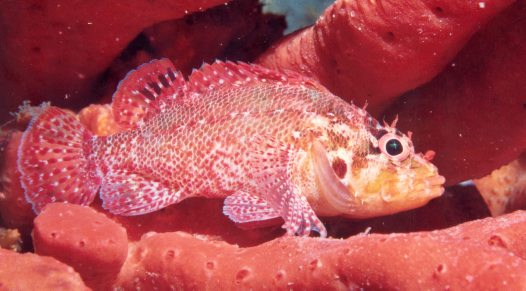A Cheekspot Scorpionfish at Fly Point Marine Reserve