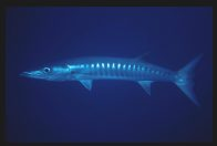 A Blackfin Barracuda at Tijou Reef