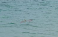 Blacktip Reef Shark at Casuarina Beach