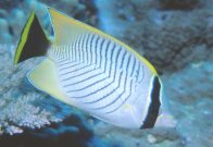 A Chevroned Butterflyfish at Northern Small Detached Reef