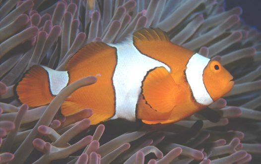 A Clown Anemonefish at Great Barrier Reef