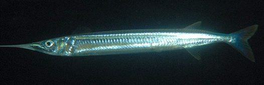 Southern Garfish at Sceale Bay