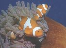 Clown Anemonefish at Great Barrier Reef