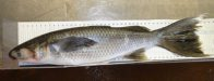 Sea Mullet with long fins