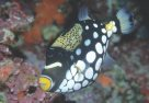 Clown Triggerfish at Wreck Bay