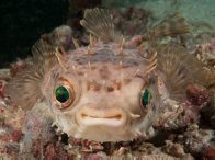 Shortspine Porcupinefish, Cyclichthys orbicularis
