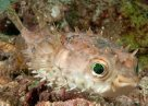 Shortspine Porcupinefish at Si Amil Island