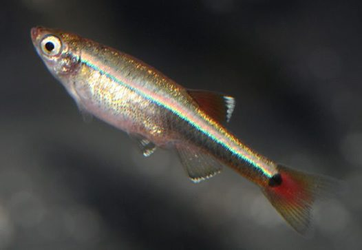 White Cloud Mountain Minnow, Tanichthys albonubes