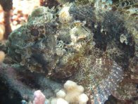 Golden Scorpionfish at Horseshoe Reef