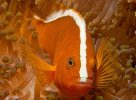 Orange Anemonefish, <em>Amphiprion sandaracinos</em>
