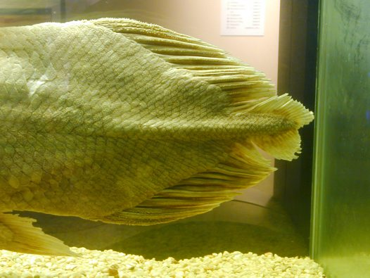 Tail of the Australian Museum's Coelacanth