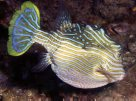 Male Shaw's Cowfish