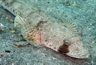 Southern Sand Flathead close up