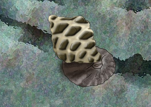 Mulberry Whelk Illustration