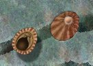 Limpets Illustration