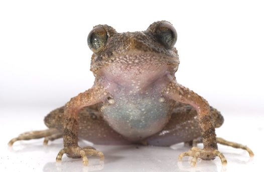 Firth's Asian Leaf Litter Toad