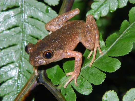 Male Firth's Asian Leaf Litter Toad