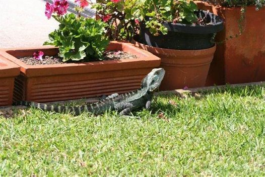Backyard Water Dragon