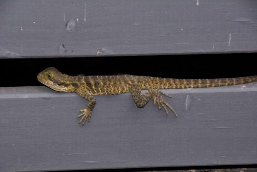 Eastern Water Dragon Juvenile