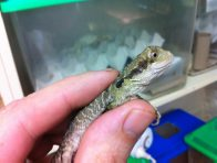 Phineas the Eastern the Water Dragon