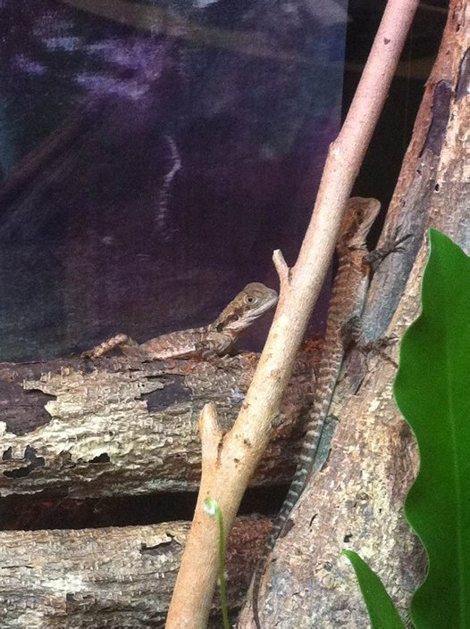 Hatchling Water Dragons: Phineas and Ferb