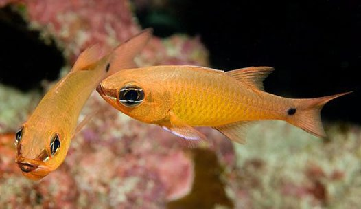 Yellow Cardinalfish at Lord Howe Island