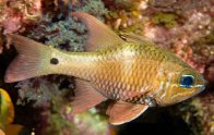 Norfolk Cardinalfish, Apogon norfolcensis