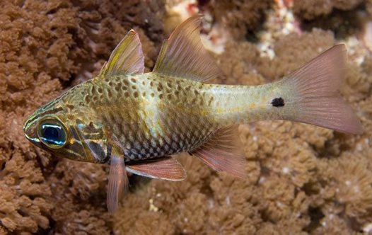 Norfolk Cardinalfish at Sugarloaf Island