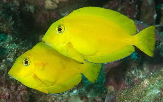 Orangeblotch Surgeonfish at South Solitary Island