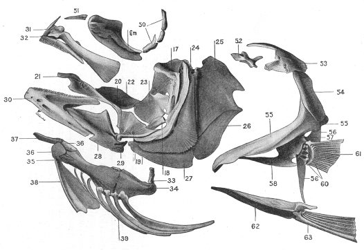 Bones Of A Fish Skull Australian Museum