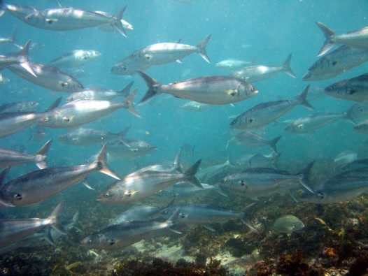 A school of Eastern Australian Salmon