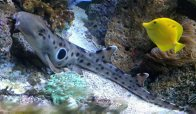 Epaulette Shark in an aquarium