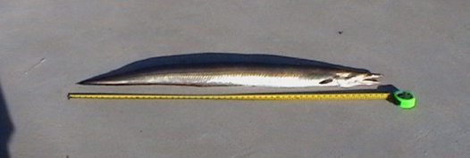Common Pike Eel caught at Lake Curalo